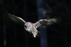 Großes Grau-Eule während des Flugs Lizenzfreies Stockfoto