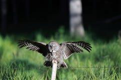 Großes Grau-Eulen-Landung auf Pfosten Lizenzfreie Stockbilder