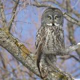 Großes Grey Owl Stockbild