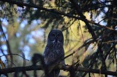 Großes Grey Owl Lizenzfreie Stockbilder