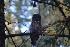 Großes Grey Owl Lizenzfreie Stockfotos