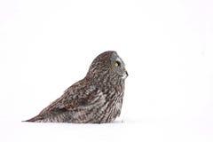 Großes Grey Owl lizenzfreies stockbild