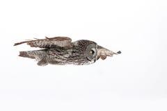 Großes Grey Owl Stockfotografie