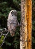 Großes Grey Owl auf kleinem Baumast Stockfotos