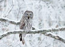 Großes Grey Owl hockte in einem Baum im Winter lizenzfreie stockbilder