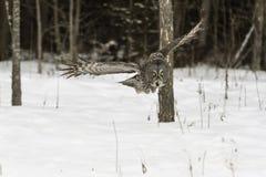 Großes Grey Owl im Flug Lizenzfreies Stockfoto