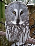 Großes Grey Owl Selfie stockfoto