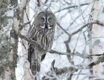 Großes Grey Owl (Strix nebulosa) lizenzfreies stockfoto