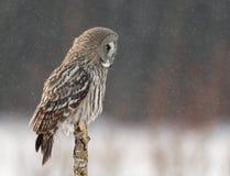 Großes Grey Owl (Strix nebulosa) stockfotos