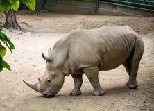 Großes Grey Rhino African Huge Animal, das auf dem Sand steht lizenzfreie stockbilder
