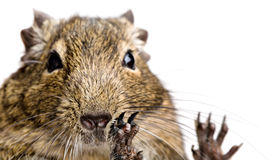 Großes Hamsterporträt lizenzfreies stockfoto