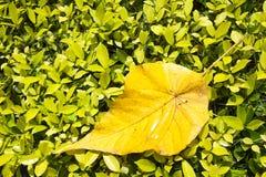 Großes hellgelbes Blatt liegt auf die kleinen hellgrünen Blätter Stockbild