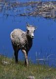 Großes Horn durch einen Teich Stockfotos