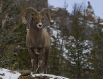 Großes Horn-RAM in den Bergen Stockfotos