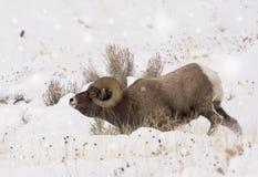 Großes Horn-RAM im Schnee Lizenzfreies Stockbild