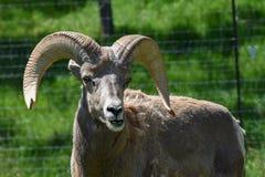 Großes Hupen-Schaf-Kauen lizenzfreie stockbilder