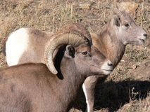 Großes Hupen-Schaf-RAM und Mutterschaf Stockfotos