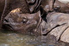 Großes indisches Nashorn Stockfotografie