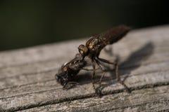 Großes Insekt, das Fliege isst stockfotos