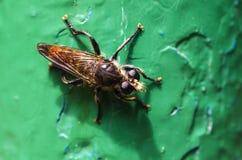 Großes Insekt wie Wespe stockbilder