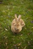 Großes Kaninchen Lizenzfreies Stockfoto