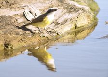 Großes kiskadee Trinkwasser Stockfoto