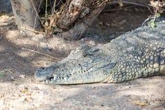 Großes Krokodil Stockbild