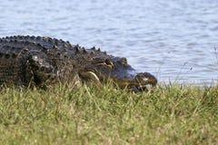 Großes Krokodil auf Küstenlinie stockfotografie