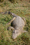 Großes Krokodil, das auf das Gras legt Stockbilder