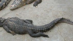 Großes Krokodil liegt aus den Grund Krokodil-Bauernhof ist in Pattaya, Thailand stock video footage