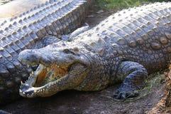 Großes Krokodil mit offenem Mund Stockbilder