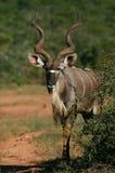 Großes Kudu Bull Lizenzfreie Stockfotos