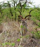 Großes Kudu, das Kamera betrachtet lizenzfreies stockfoto
