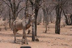 Großes männliches Kudu Lizenzfreies Stockbild
