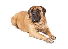 Großes Mastiff-Hundelegen Stockfoto