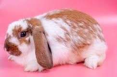Großes Mehrfarbenkaninchen oder Häschen mit den langen Ohren im Punkt hinunter Richtungsaufenthalt vor rosa Hintergrund lizenzfreie stockfotografie