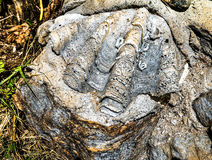 Großes Oberteilfossil im Stein Stockbild