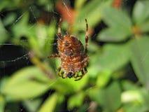 Großes Ol Spinnenmakro Stockbild