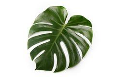 Großes Palmblatt Lizenzfreie Stockfotos