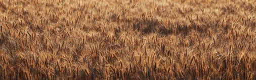 Großes Panorama des Weizenfeldes Lizenzfreie Stockbilder