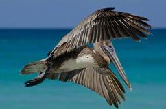 Großes Pelikanfliegen nahe dem Wasser Lizenzfreie Stockfotografie
