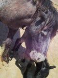 Großes Pferd und kleines Pferd Stockbild