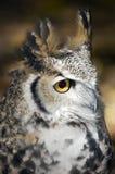 Großes Profil der gehörnten Eulen-(Bubo virginianus) Stockbild