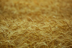 Großes reifes, gold-braunes Feld, Gelb, Weizen bei Sonnenuntergang Lizenzfreie Stockfotografie