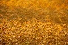 Großes reifes, gold-braunes Feld, Gelb, Weizen bei Sonnenuntergang Lizenzfreies Stockbild