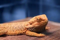Großes Reptil - bärtiger Drache, der auf einem Holztisch sitzt stockbild