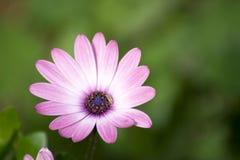 Großes rosa Gänseblümchen Lizenzfreie Stockfotos