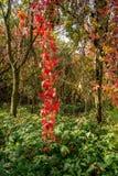 Großes rotes lian im Wald Stockbild