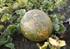 Großes rundes Gemüsereifes der Melone und geschmackvoll Stockbilder