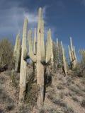 Großes Saguaroskaktusfeld Stockfoto